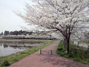 20120413_sakura.jpg